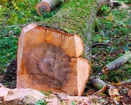 Holzstamm aus einheimischen Wäldern